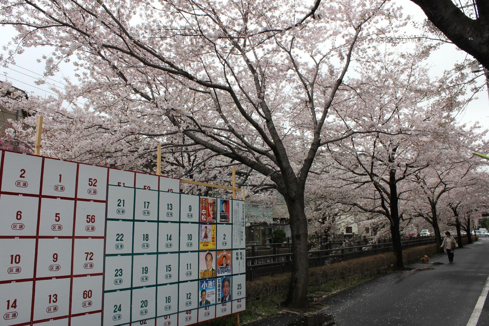 20110409sakura_012