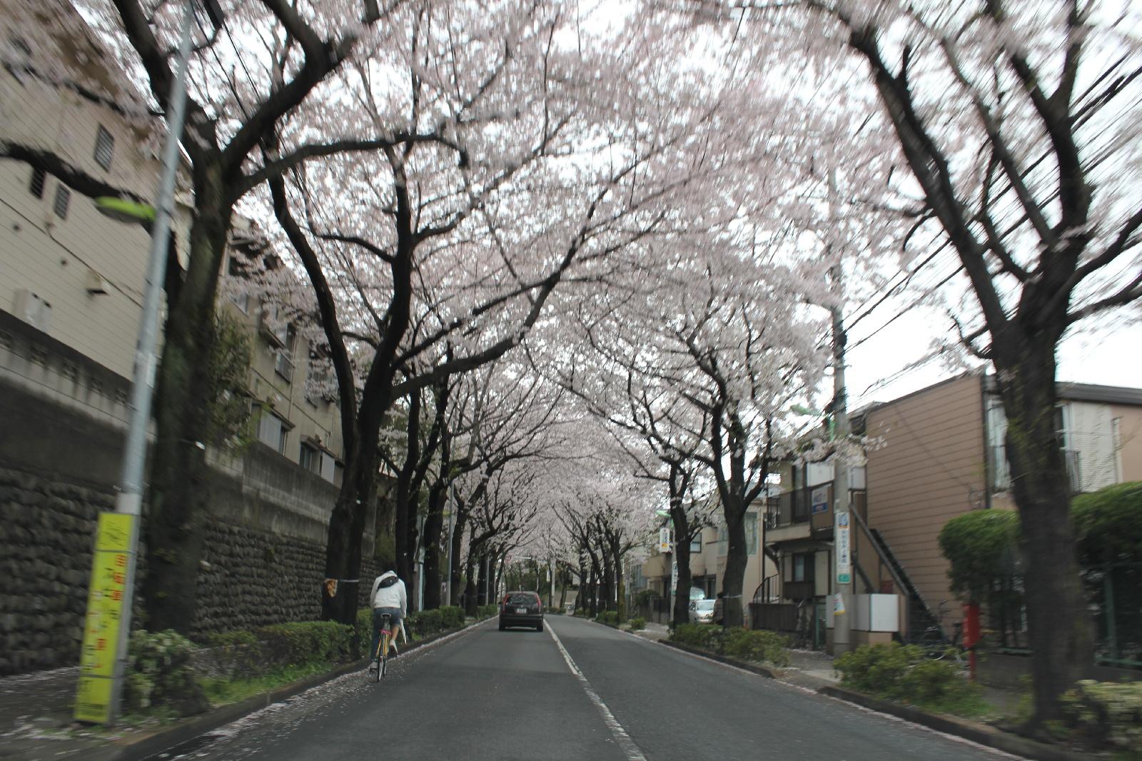 20110409sakura_023