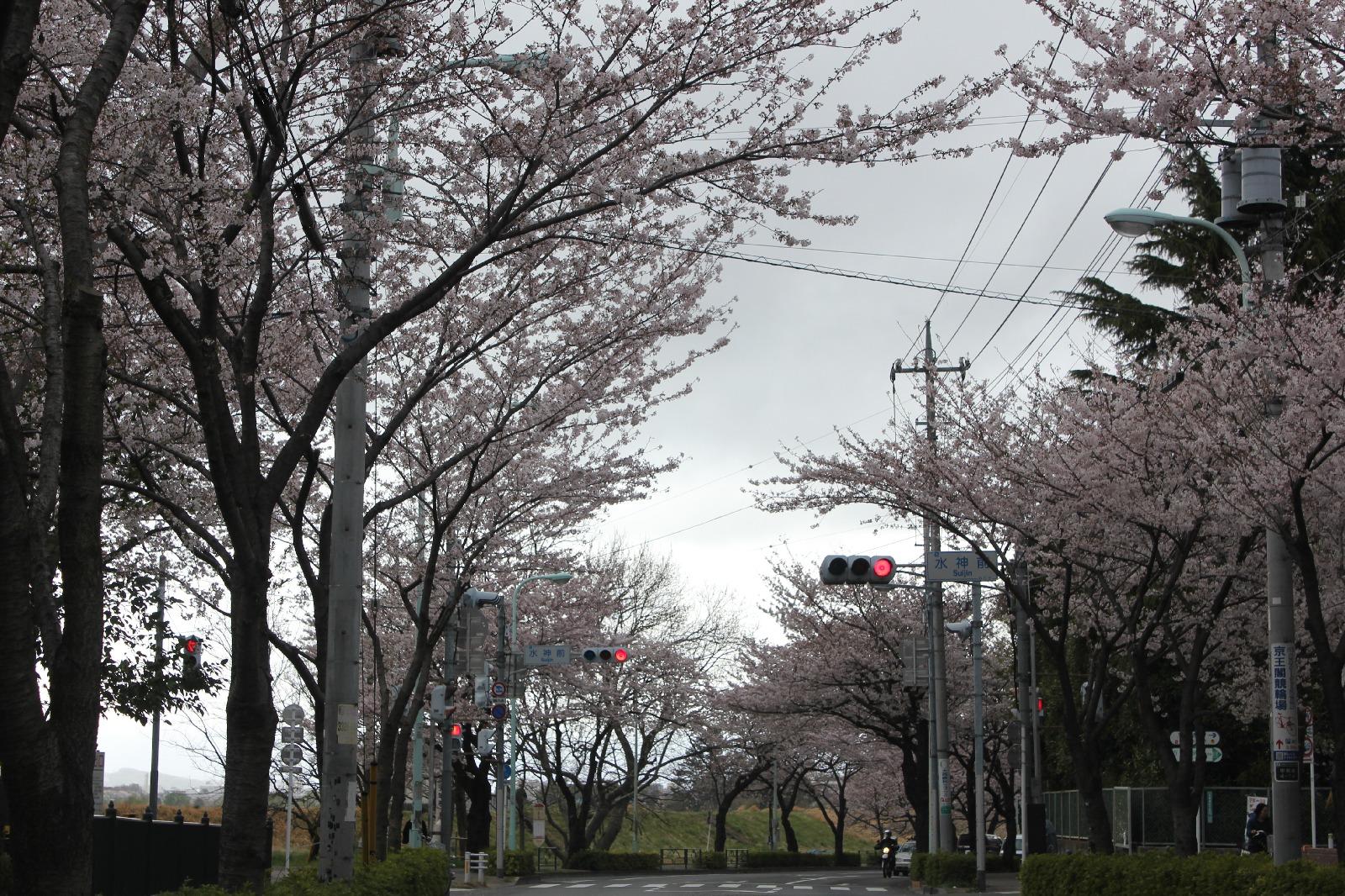 20110409sakura_029