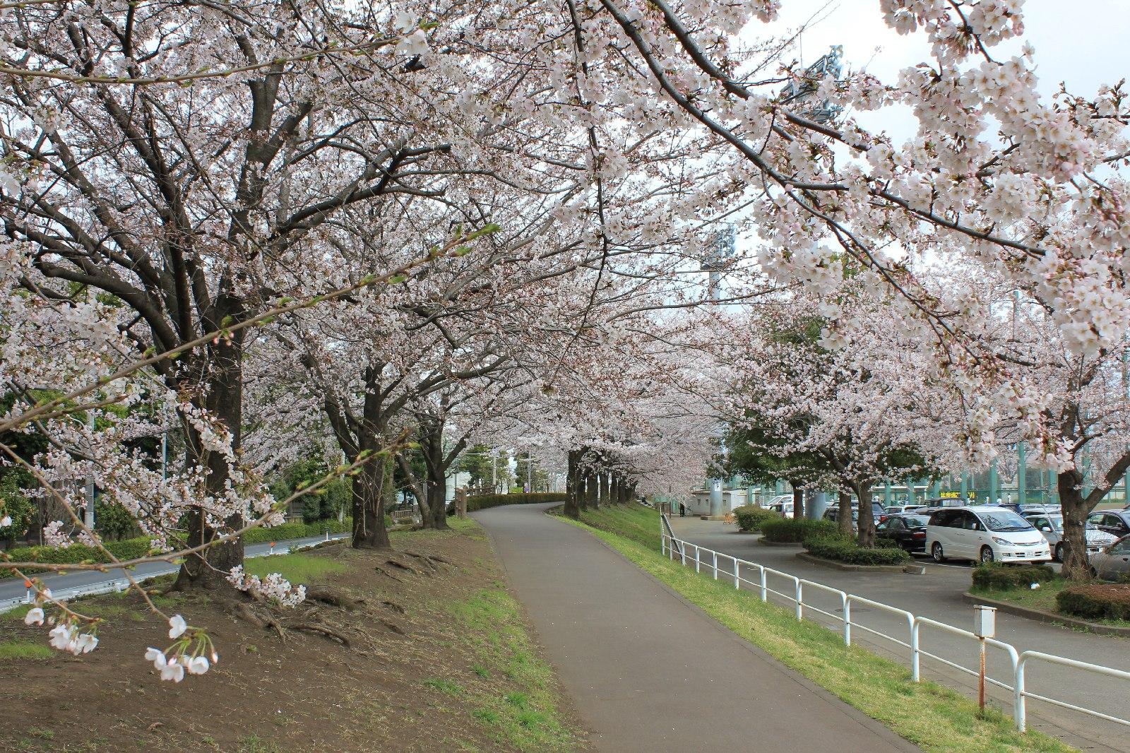 20110409sakura_042
