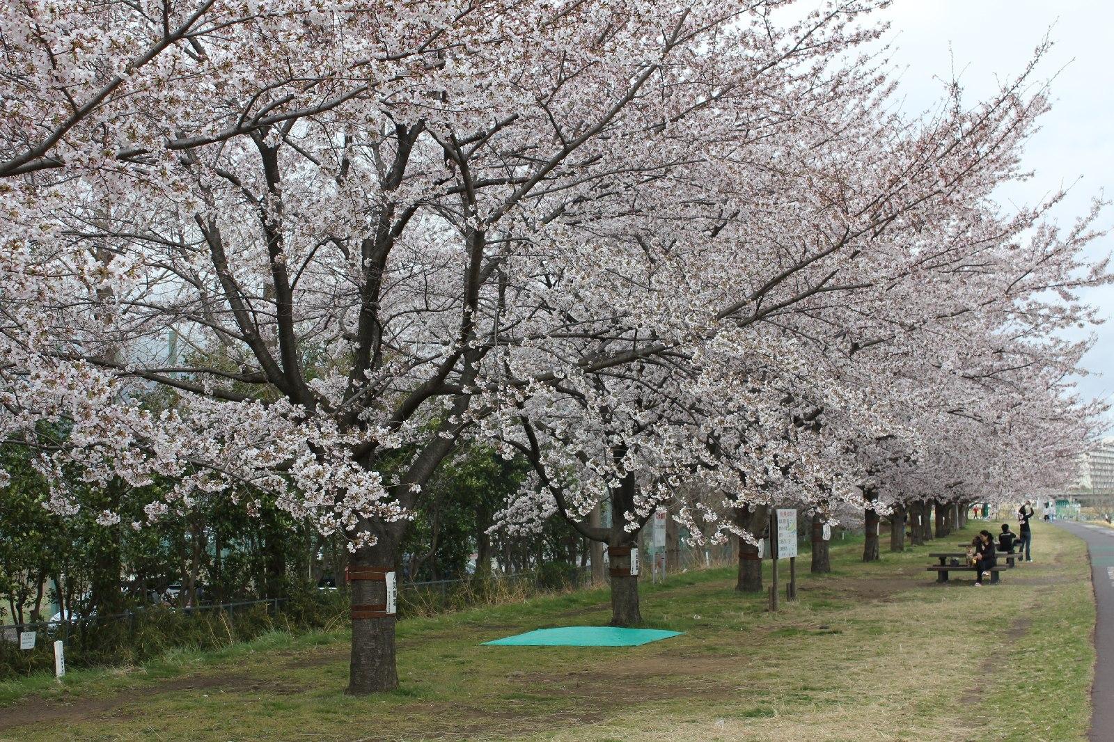 20110409sakura_047