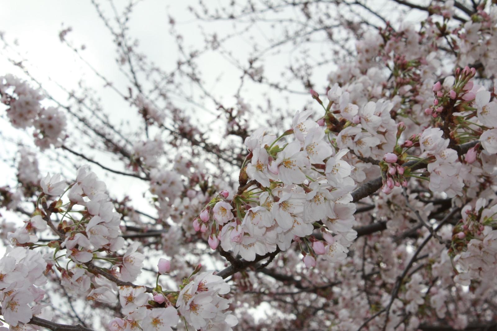 20110409sakura_049