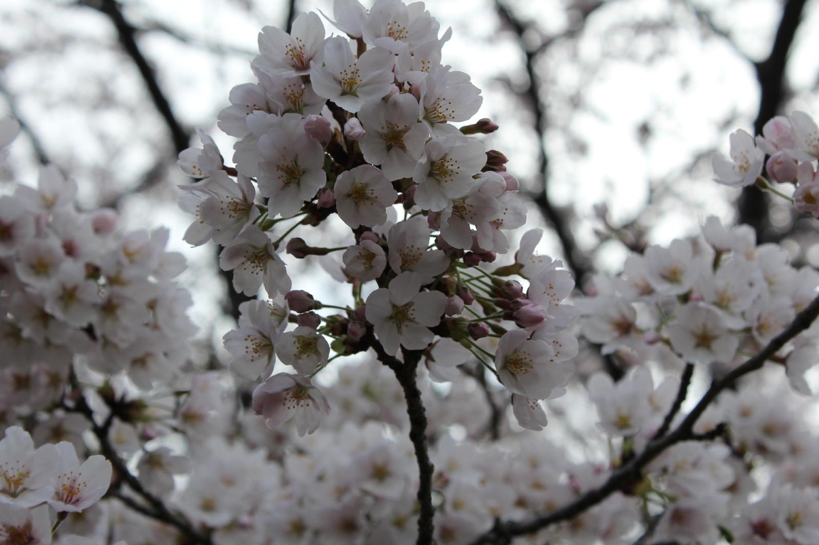 20110409sakura_055